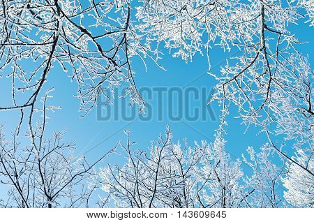 Winter natural view of winter frosty tree tops. Winter background - frosty branches of the winter trees against blue sky. Winter landscape.