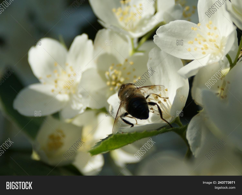 June Morning Blooming Chubushnik Delicate White Flowers Give