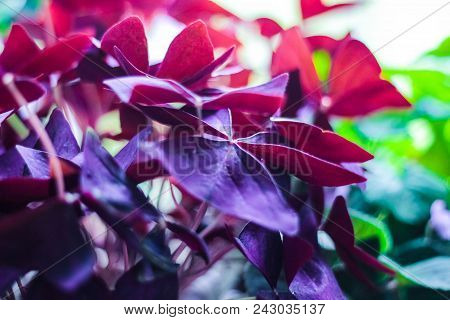 Shamrock, Sorrel, Oxalis triangularis, houseplant of violet color. Texture stock photo