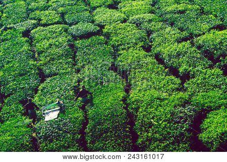 Tea pickers harvesting tea leaves stock photo