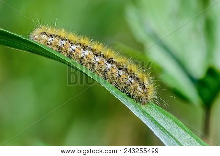 Hairy caterpillar of butterfly bombyx sits on the edge of a leaf of grass stock photo