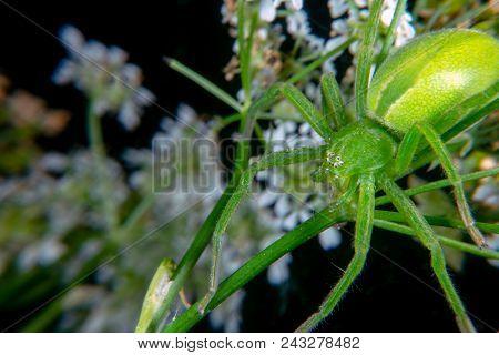 Micrommata virescen ore Green huntsman spider is bright green stock photo