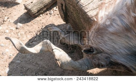 Markhor on a rock in the zoo area. stock photo