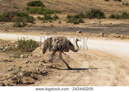 Dancing female ostrich. Savanna of Amboseli, Kenya stock photo