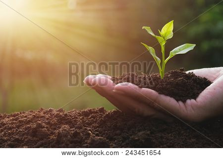 Closeup Hand Of Person Holding Abundance Soil With Young Plant In Hand   For Agriculture Or Planting