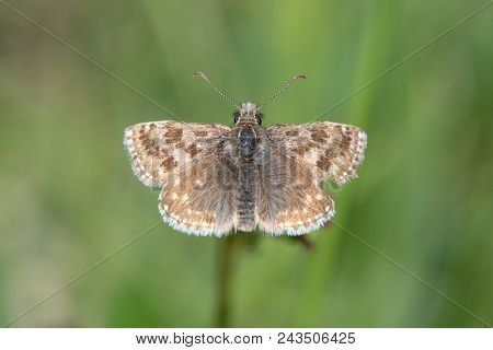 Dingy skipper butterfly (Erynnis tages) with damaged wing. A butterfly in the family Hesperiidae, from above stock photo