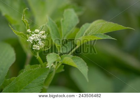 Ground-elder (Aegopodium podagraria) coming into flower. Low growing plant in the family Apiacaea with distinctive toothed leaves and white umbel of flowers stock photo