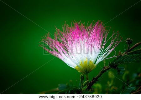 Albizia julibrissin flower in white and pink shining brightly stock photo