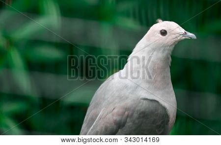 Pied imperial pigeon (Ducula bicolor)stand on the branch. It is a relatively large, pied species of pigeon. It is found in forest, woodland, mangrove, plantations and scrub in Southeast Asia stock photo