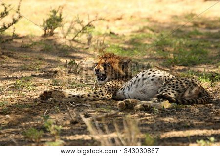 The cheetahs cub (Acinonyx jubatus) with full tamy. Small and cute cheetah baby fter hunt and feeding. stock photo