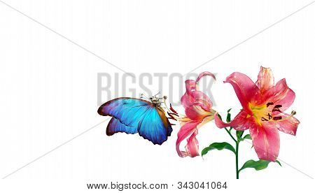 bright blue tropical morpho butterfly on pink lily flowers. butterfly and flowers isolated on white. copy spaces stock photo