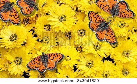 bright red butterflies and yellow chrysanthemums. butterflies and flowers. colorful natural background.  spotted fritillary butterfly. top view stock photo