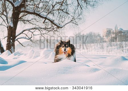 Funny Young Shetland Sheepdog, Sheltie, Collie Fast Running Outdoor In Snowy Park. Playful Pet In Winter Forest. stock photo