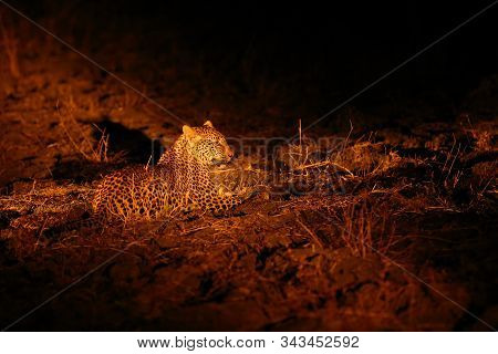The African leopard (Panthera pardus pardus) young male in his territory on the ground at night.African atmosphere with big cat.Fearless little leopard without mother at night with big eyes. stock photo