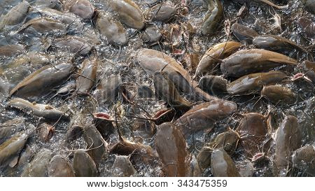Catfish pond.Catfish in the fish farming. Catfish does not contain any carbohydrates, but there is a good amount of protein. stock photo