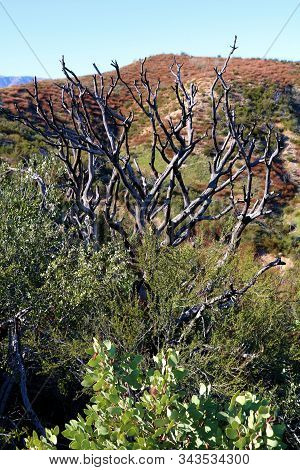 Burnt chaparral plants caused from a past wildfire taken on an arid plain in the Cajon Pass, CA stock photo