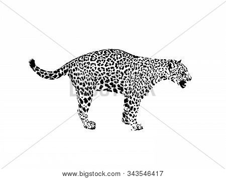 Leopard, wild cat. Wild animal print. Hand drawn illustration. for tattoo design, emblem, badge, t-shirt print. Engraving of wild animal. Classic vintage style. stock photo