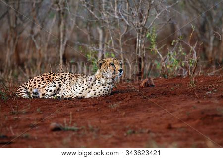 The cheetah (Acinonyx jubatus), also as the hunting leopard resting on red soil.Large spotted cat lying on the ground in an African bush. stock photo