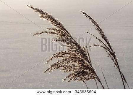 Dry yellow and white fluffy Phragmites australis cane seed head in winter is on the blurred gray background stock photo