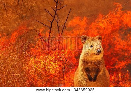Composition about Australian wildlife in bushfires of Australia in 2020. Quokka with fire on background. January 2020 fire affecting Australia is considered the most devastating and deadly ever seen stock photo
