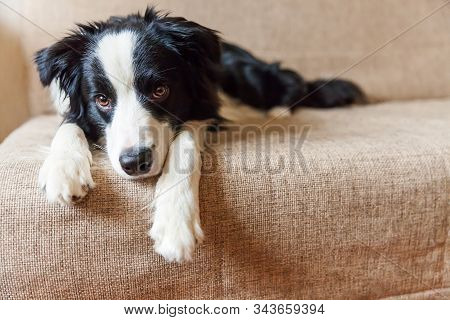 Funny portrait of cute smilling puppy dog border collie on couch. New lovely member of family little dog at home gazing and waiting. Pet care and animals concept stock photo