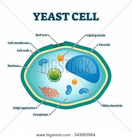 Yeast Cell Vector Illustration. Labeled Fungus Microorganism Closeup Structure Diagram. Biological S