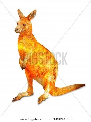 Composition about kangaroo wildlife in the Australian bushfires in 2020. Standing kangaroo with fire isolated on white background. Macropus rufus species. stock photo