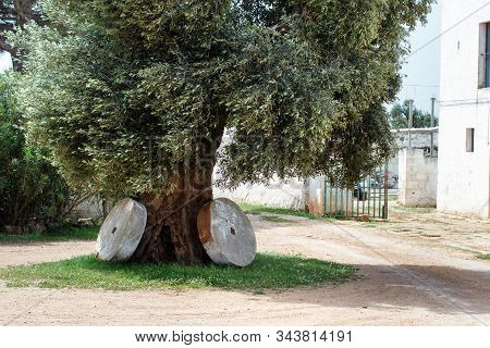 Ancient olive tree with two millstones, Puglia, Italy stock photo