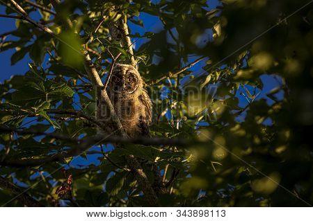 Juvenile Long-eared owl (Asio otus) on tree stock photo
