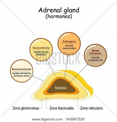 Hormones of the adrenal gland. Labeled scheme with all hormones types. Medical diagram with closeup gland cross section. Human endocrine system. vector illustration. stock photo