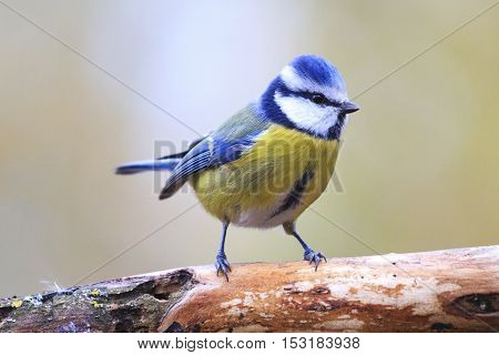 Eurasian blue tit on branch, birds drink water puddle autumn, fallen leaves, colorful leaves, bird migration stock photo