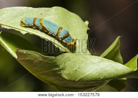 Last instar caterpillar of banded swallowtail butterfly (Papilio demolion) on host plant eaf stock photo