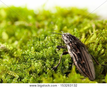 Macro rear view of borer beetle (Chalcophora mariana) making its way through green moss on forest floor stock photo