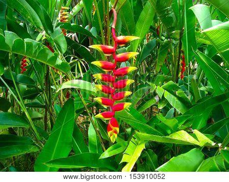 Heliconia Pendula - Hanging Crab Claw Flower at Royal Botanical garden Peradeniya. Sri Lanka stock photo