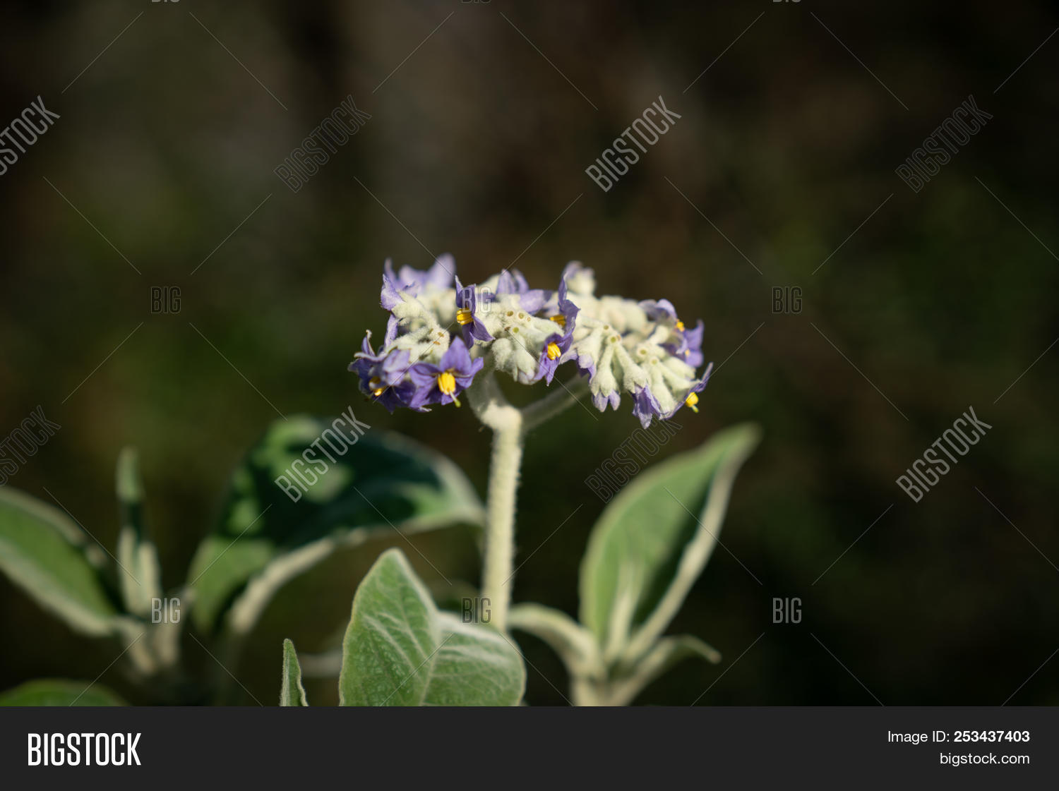 poisonous plant flowers of nightshade close up with purple and and mightylinksfo