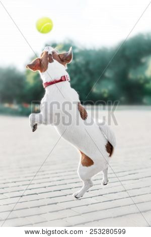A small dog jack russell terrier jumped to catch a tennis ball in a summer park stock photo