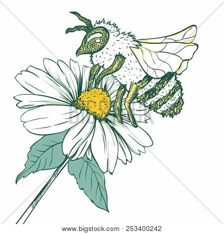 Entomology Sketch Illustration with Bee or Wasp and Camomile Flower. Blossoming and Pollination. Botanical or Medical Theme. Isolated on White Background stock photo