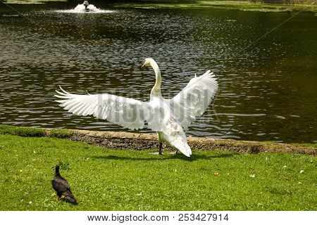 The white swan in Leopold park in Brussels, Belgium. stock photo
