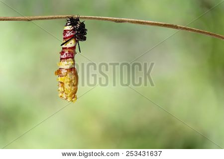 Molting caterpillar to chrysalis of Leopard lacewing butterfly ( Cethosia cyane euanthes ) hanging on twig with green backgrund stock photo