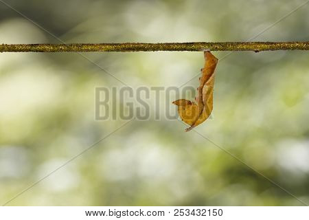 Mature caterpillar of common lascar butterfly ( Pantoporia hordonia ) walking on host plant twig stock photo