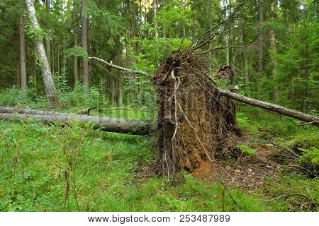 Fallen pine tree in forest in the Karelian Isthmus, Russia. stock photo