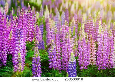 lupinus field with pink purple and blue flowers a field of beautiful mightylinksfo
