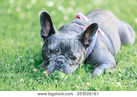 Blue Male French Bulldog in a playful posture. Young Frenchie lying on the grass in an off leash dog park in Northern California. stock photo