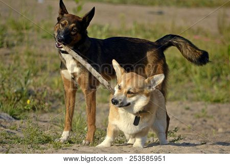 Dogs play with each other. Corgi pembroke. Merry fuss puppies. Aggressive dog. Training of dogs.  Puppies education, cynology, intensive training of young dogs. Young energetic dog on a walk. Whiskers, portrait,closeup, stick stock photo