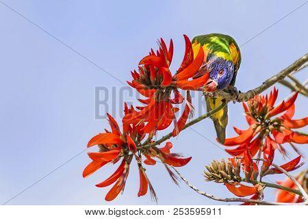 Rainbow Lorikeet (Trichoglossus haematodus) - a medium-sized Australian parrot - feeding on the flowers of a Coral Tree (Erythrina sykesii) in Perth, Western Australia. stock photo