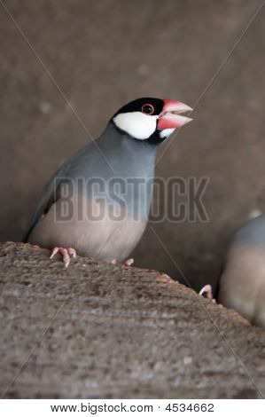 Angry Java Sparrow squawking at another bird. stock photo