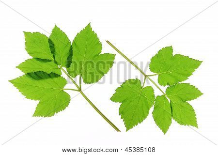Two leaves of ground elder (Aegopodium podagraria) isolated in front of white background stock photo