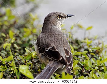 Extreme Close Up of the Northern Mockingbird State Bird of Florida Texas Arkansas Tennessee South Carolina and Mississippsi stock photo