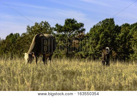 Crossbred commercial cow and calf in a brown dry dormant pasture with blue sky stock photo