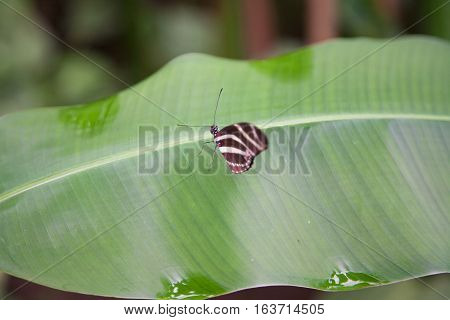 beautiful tropical brown with white bands butterfly named Heliconius charitonius or charitonia from Nymphalidae family also known as Zebra Longwing or Heliconian on green leaf plant stock photo